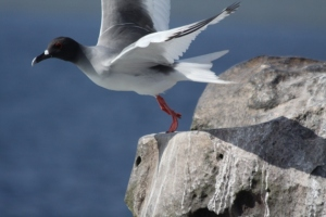 A swallow tail gull about to take flight